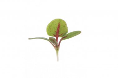 Sorrel, Red Veined - Microgreen Seed