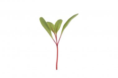 Chard, Ruby Red - Organic Microgreen Seed
