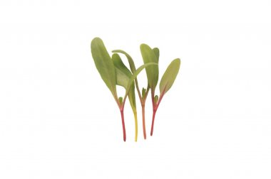 Chard, Bright Lights - Microgreen Seed
