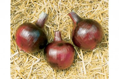 Redwing - (F1) Onion Plants