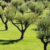 2-3 Yr Old (2-3 Ft) Arbequina Olive Tree