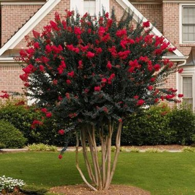 Black Diamond Crape Myrtle Best Red Black Diamonds are Forever A