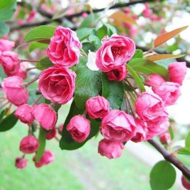 Brandywine Crabapple Tree - Miniature rose flowers