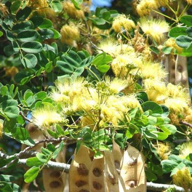 Golden Silk Tree (albizia lebbeck)