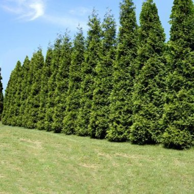Privacy Trees Thuja Green Giant