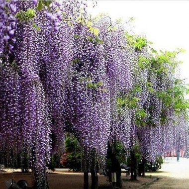 Purple Wisteria Trees Wisteria Sinensis DIY Home Garden Yard Pla