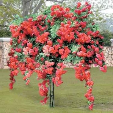 Red Weeping Tree Rose