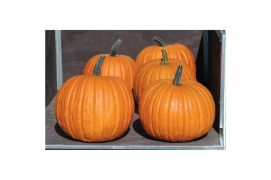 Charisma PMR - Treated (F1) Pumpkin Seed