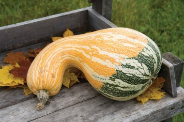 Autumn Colors Cushaw - (F1) Pumpkin Seed