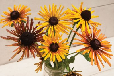 Chim Chiminee Mix - Rudbeckia Seed