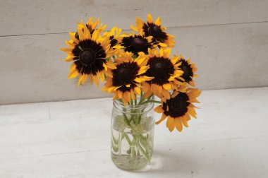 Denver Daisy - Film-Coated Rudbeckia Seed
