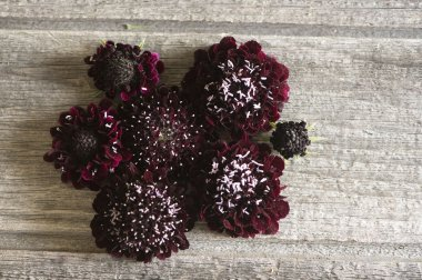 Black Knight - Scabiosa Seed