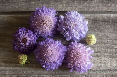 Oxford Blue - Scabiosa Seed