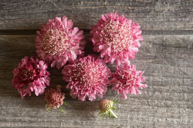 Salmon Rose - Scabiosa Seed