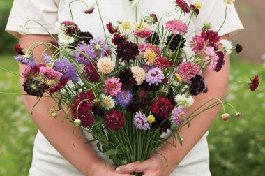 Pincushion Mix - Organic Scabiosa Seed