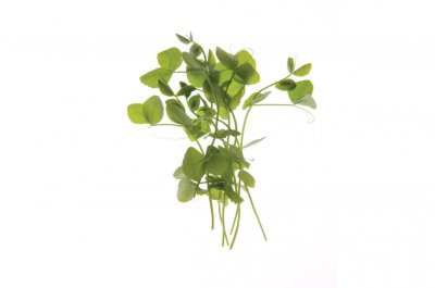 Dwarf Grey Sugar Pea - Shoot Seed