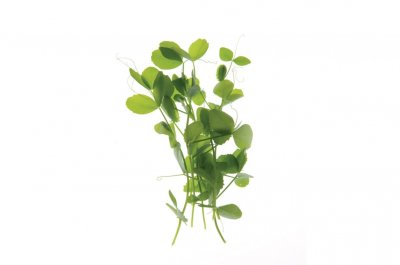 Field Pea - Shoot Seed
