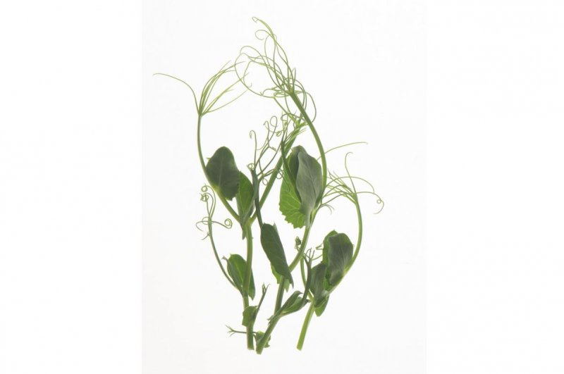 Tendril Pea - Organic Shoot Seed