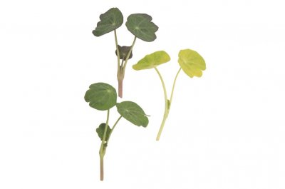 Shades of Green Nasturtium - Shoot Seed