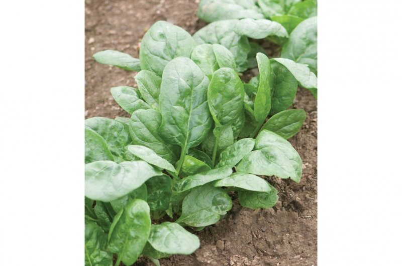 Corvair - Organic (F1) Spinach Seed