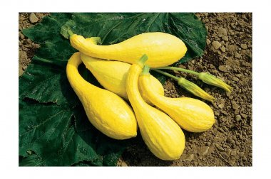Yellow Crookneck - Organic Yellow Summer Squash Seed
