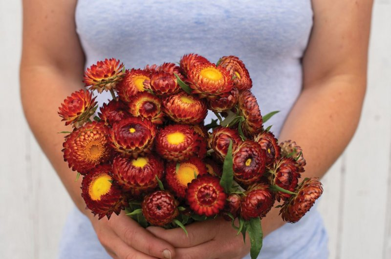 Copper Red - Strawflower Seed