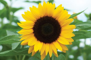 Sunrich Orange Summer - Sunflower Seed