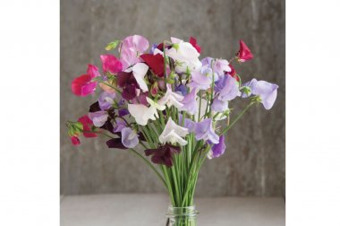 Royal Mix - Sweet Pea Seed