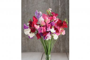 Mammoth Choice Mix - Sweet Pea Seed