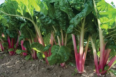 Peppermint - Swiss Chard Seed