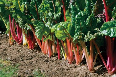 Bright Lights - Pelleted Swiss Chard Seed