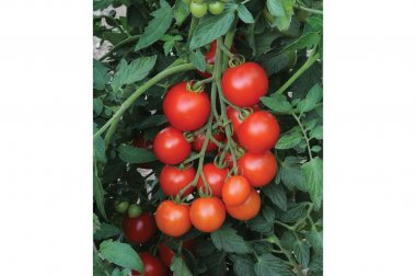 Mountain Magic - (F1) Tomato Seed