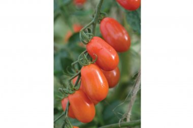 Five Star Grape - Organic (F1) Tomato Seed