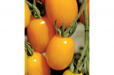 Golden Sweet - (F1) Tomato Seed