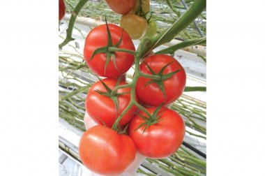 Climstar - (F1) Tomato Seed