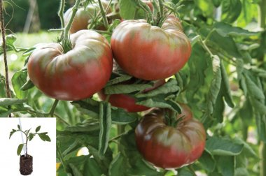 Marnero/Estamino Organic Tomato Plants