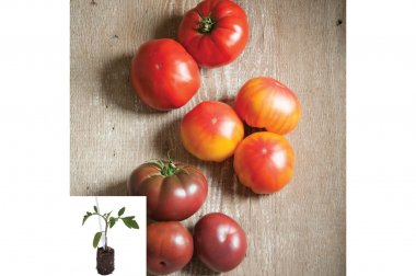 Grafted French Heritage Tomato Plants