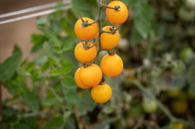 Gold Nugget - Organic Tomato Seed