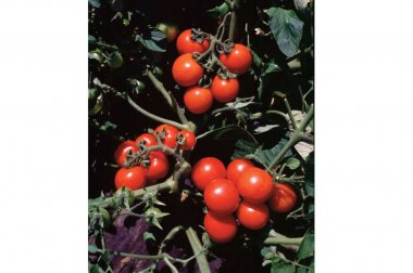Washington Cherry - Organic Tomato Seed