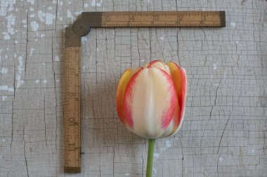 Beauty of Spring - Tulip Bulb