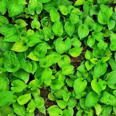 White Clover Seeds Selling Organic Vegetable Seed