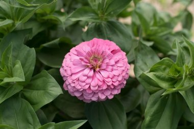 Benary's Giant Bright Pink - Zinnia Seed