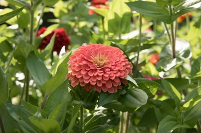 Benary's Giant Salmon Rose - Zinnia Seed