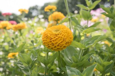 Benary's Giant Golden Yellow - Zinnia Seed