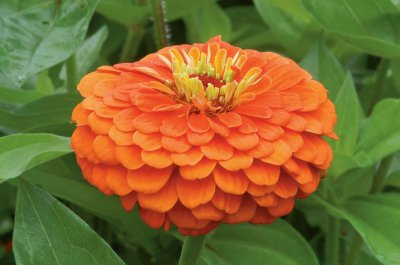 Benary's Giant Orange - Zinnia Seed