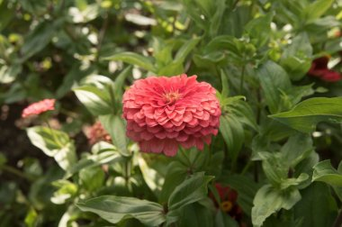 Benary's Giant Coral - Zinnia Seed