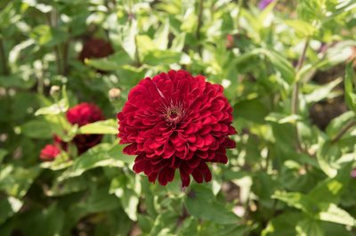 Benary's Giant Deep Red - Zinnia Seed