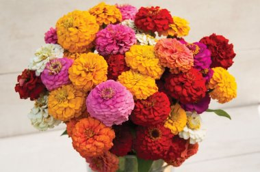 Oklahoma Formula Mix Improved Zinnia