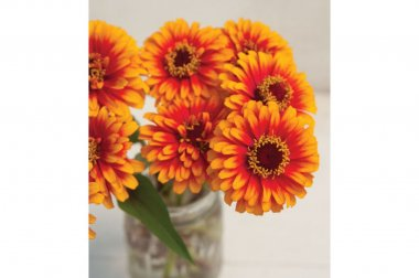 Zowie!? Yellow Flame - Zinnia Seed
