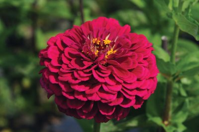Benary's Giant Wine - Zinnia Seed
